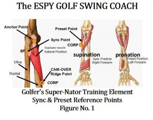 Key muscle in the golfer's swing, Pronator Quadratus.